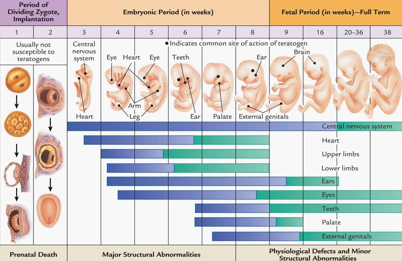 На каком сроке беременности (неделя, месяц) можно определить пол ребёнка: узнать на узи, рассчитать по сердцебиению и прочее