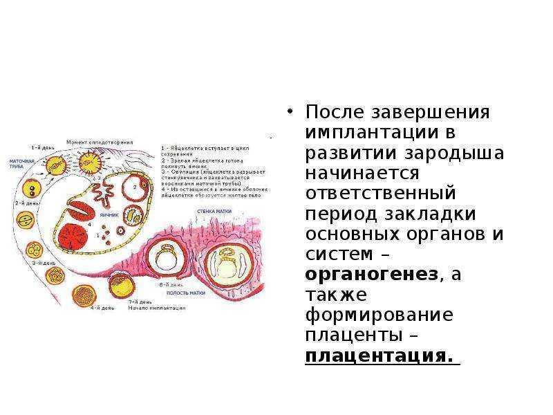 С какого периода начинает формироваться плацента. плацента: когда она формируется, на каком сроке беременности завершается процесс формирования