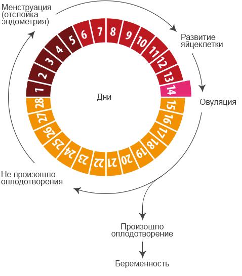 Можно ли забеременеть если нет месячных вообще или длительное время – 2 месяца, полгода?   месячные   vpolozhenii.com