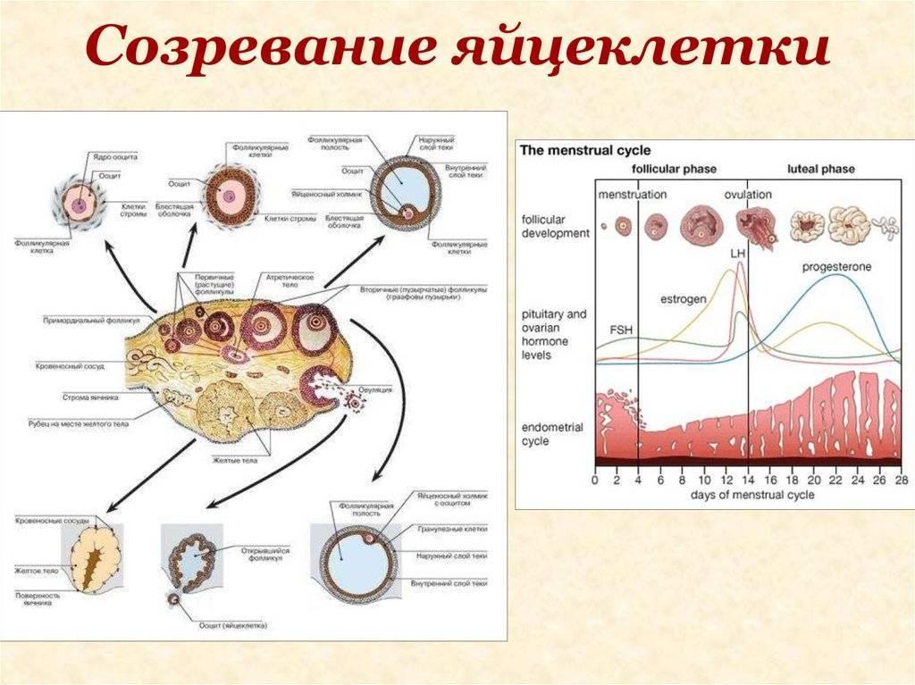 Причины появления и методы лечения единичных фолликулов в яичнике