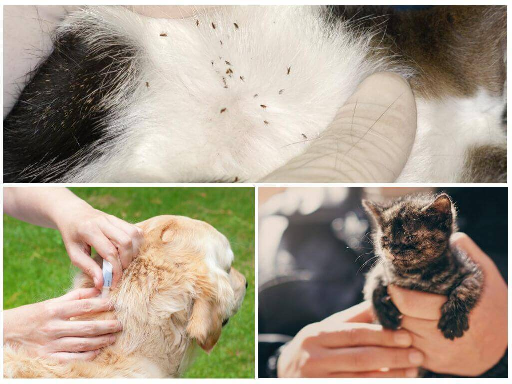 Укусы от блох у кошек: их обработка и способы предотвращения аллергии.