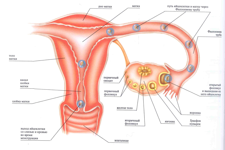 Единичные фолликулы в яичнике: что это, причины, диагностика