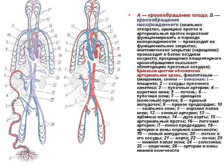 Круги кровообращения у человека: эволюция, строение и работа большого и малого, дополнительные, особенности