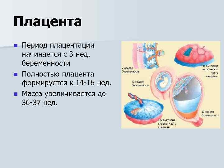 Плацента в ходе беременности: что важно знать - наблюдение беременности.  здоровье